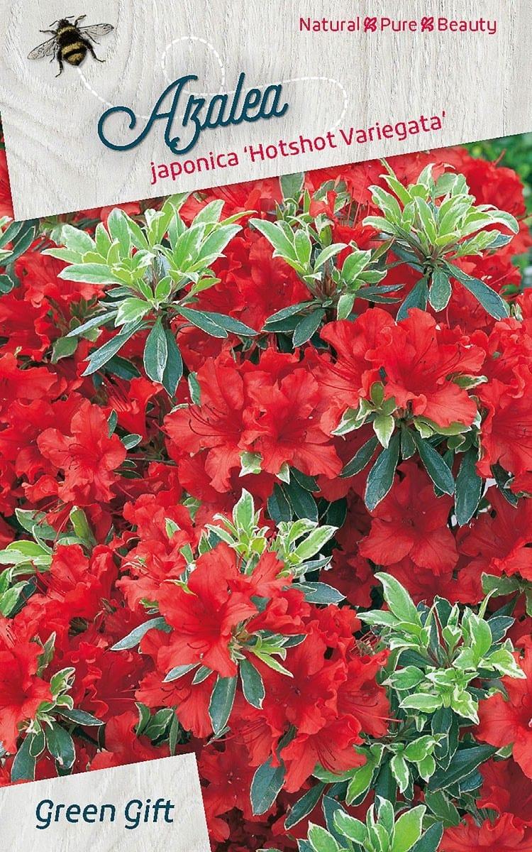 Azalea japonica 'Hotshot Variegata'