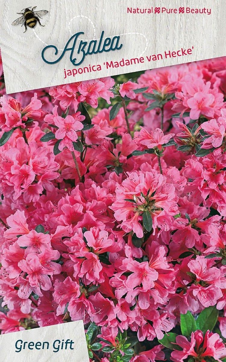 Azalea japonica 'Madame van Hecke'