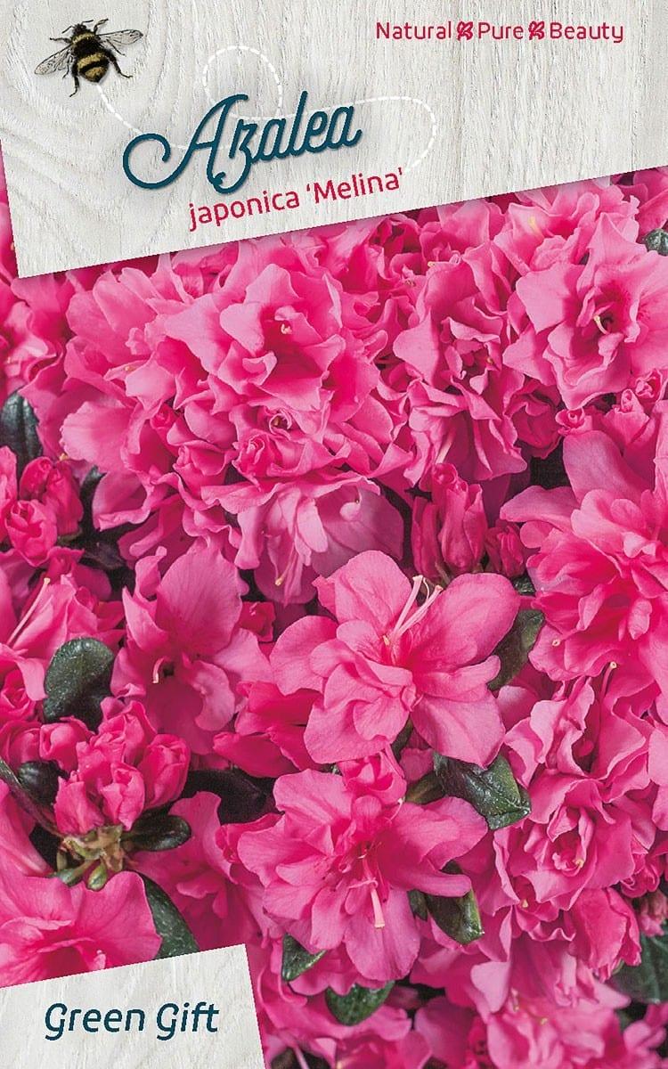 Azalea japonica 'Melina'