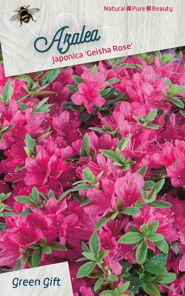 Azalea japonica 'Momoko'