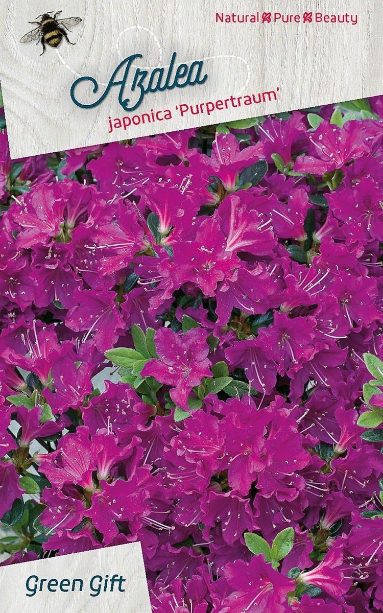 Azalea japonica 'Purpertraum'
