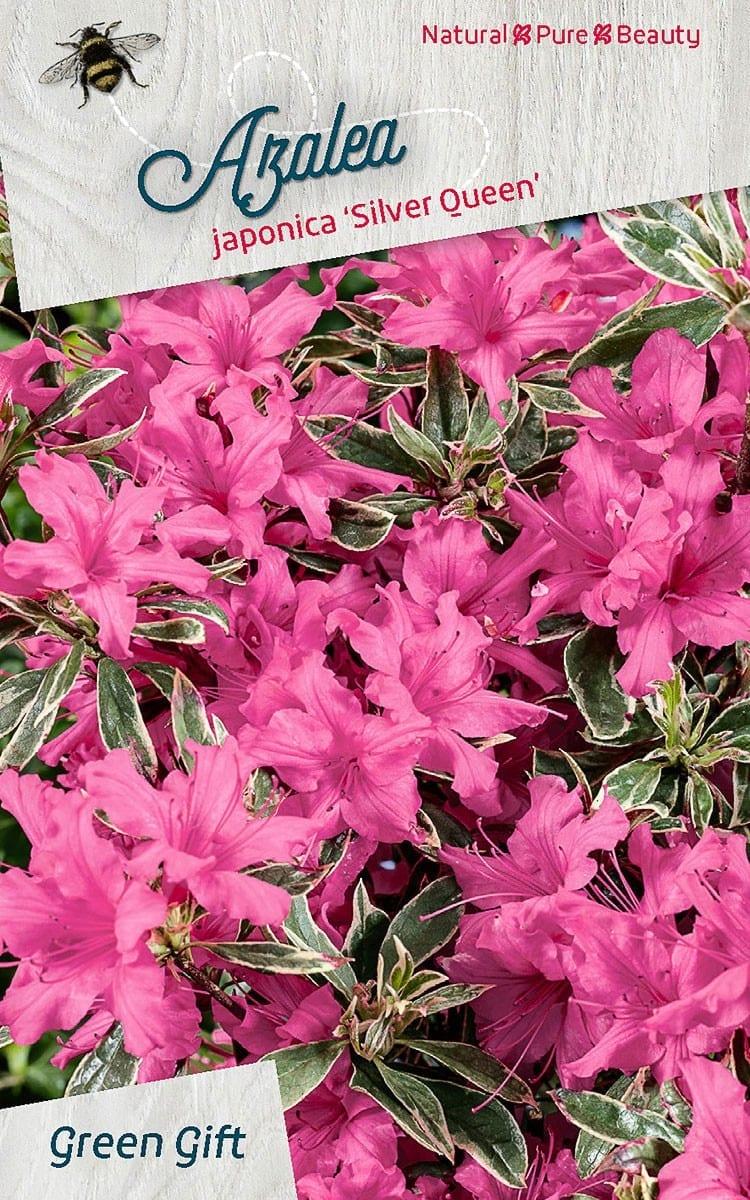 Azalea japonica 'Silver Queen'