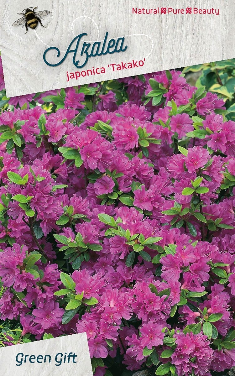 Azalea japonica 'Takako'