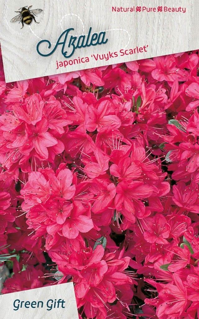 Azalea japonica 'Vuyks Scarlet'