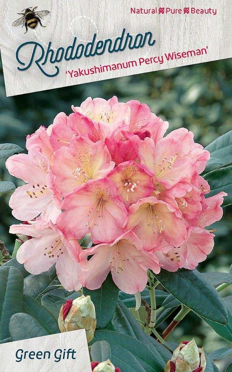 Rhododendron 'Yakushimanum - Percy - Wiseman'