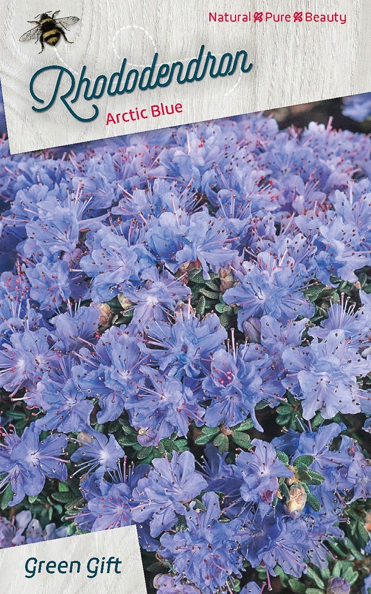 Rhododendron Arctic Blue