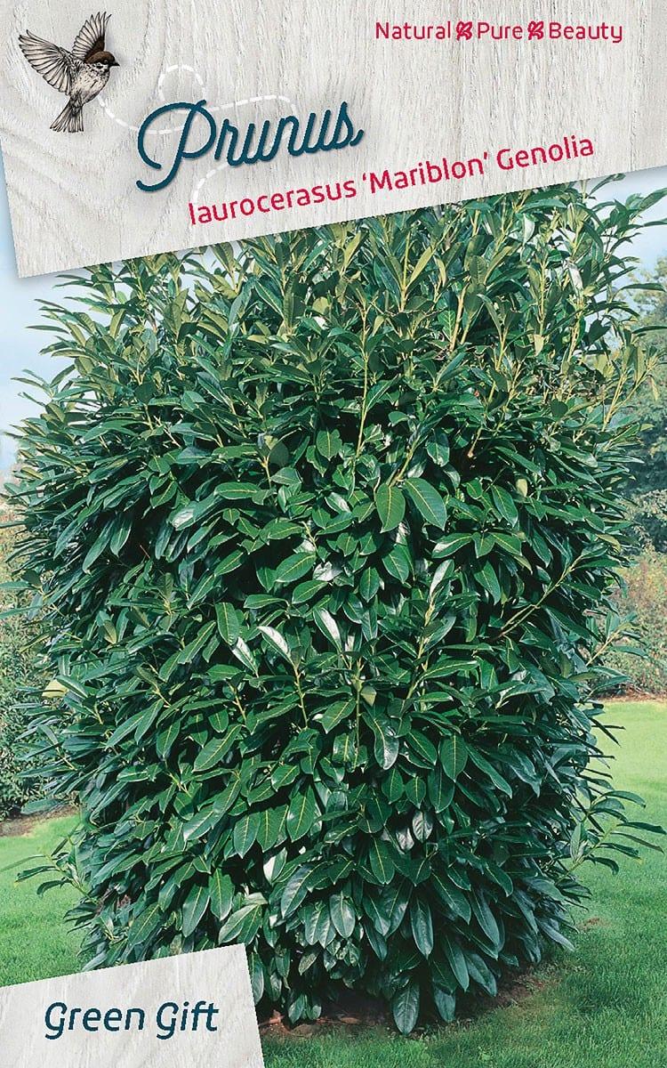 Prunus laurocerasus 'Mariblon' Genolia