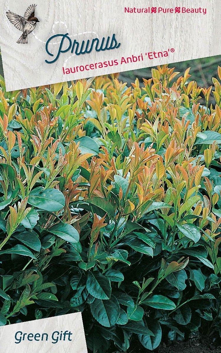 Prunus laurocerasus Etna(R) ('Anbri'PBR)