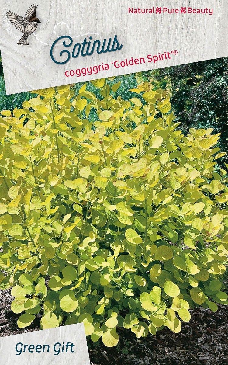 Cotinus coggygria 'Golden Spirit' ('Ancot'PBR)