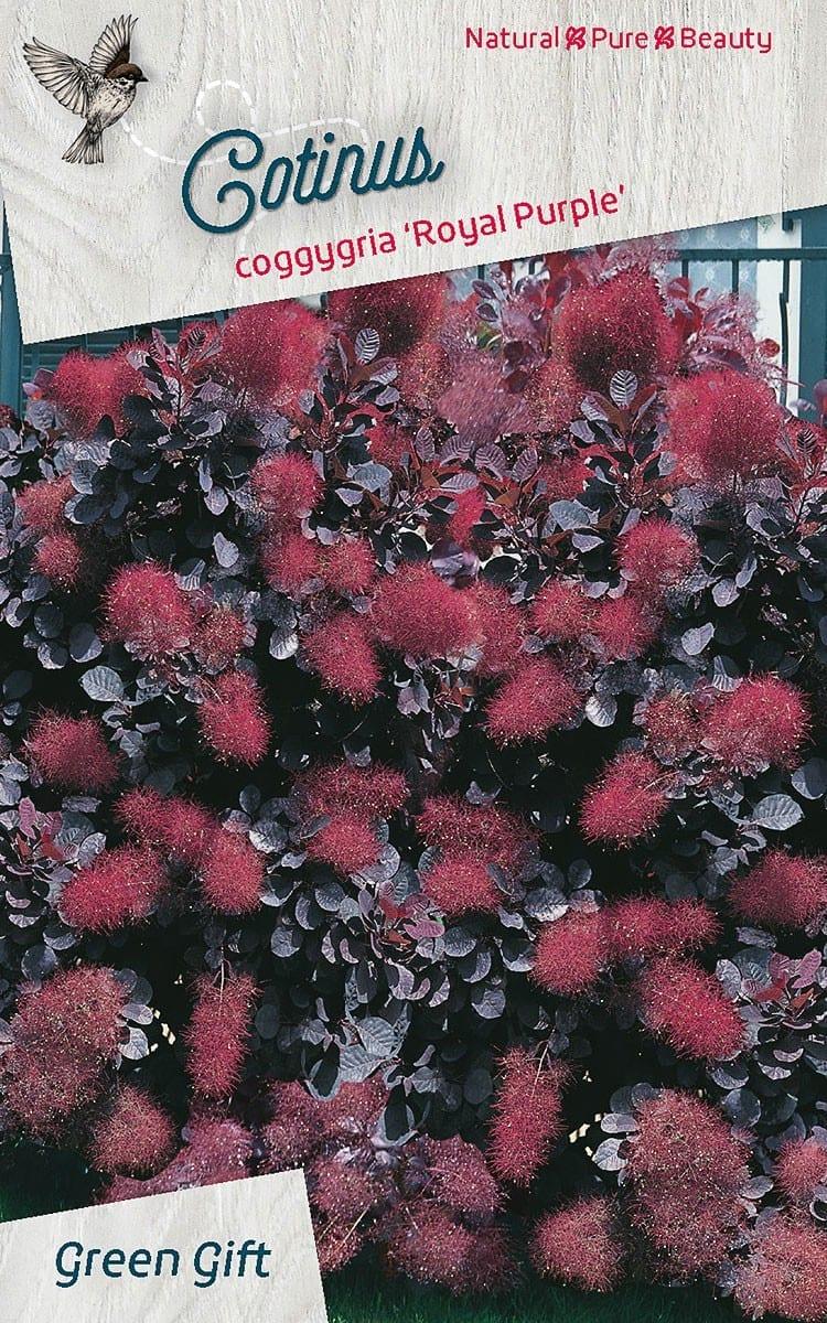 Cotinus coggygria 'Royal Purlple'