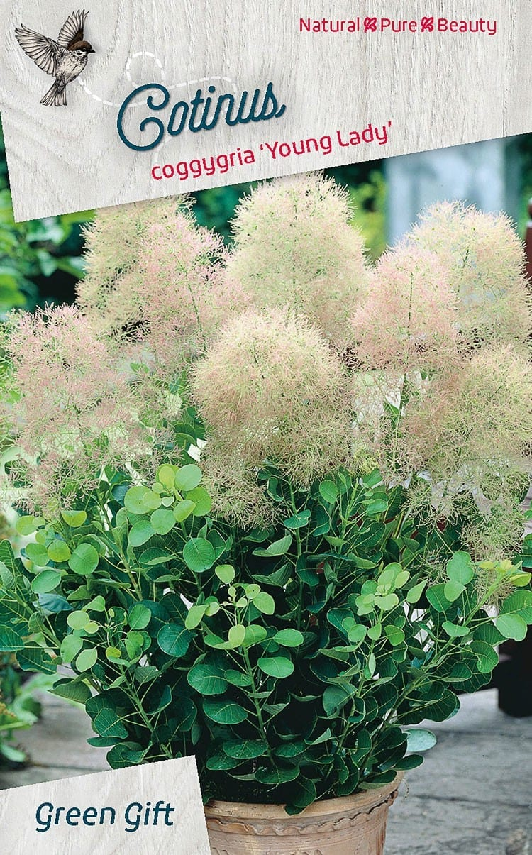 Cotinus coggygria 'Young Lady'PBR