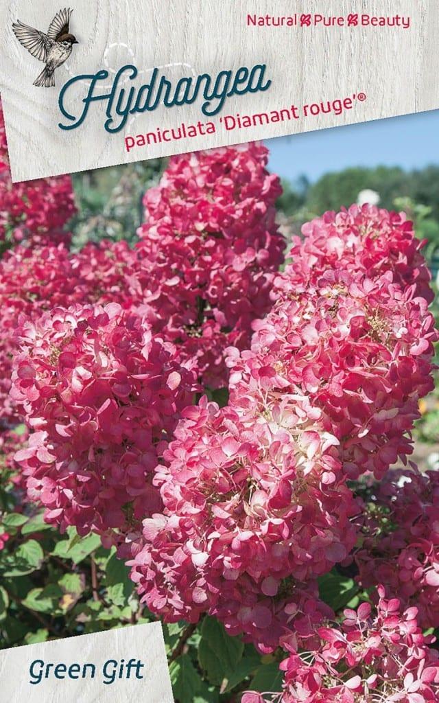 Hydrangea paniculata 'Diamant rouge® ('Rendia'PBR)