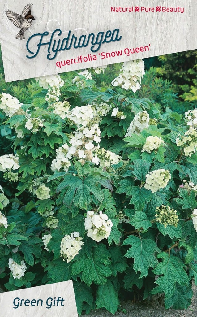 Hydrangea quercifolia 'Snow Queen'