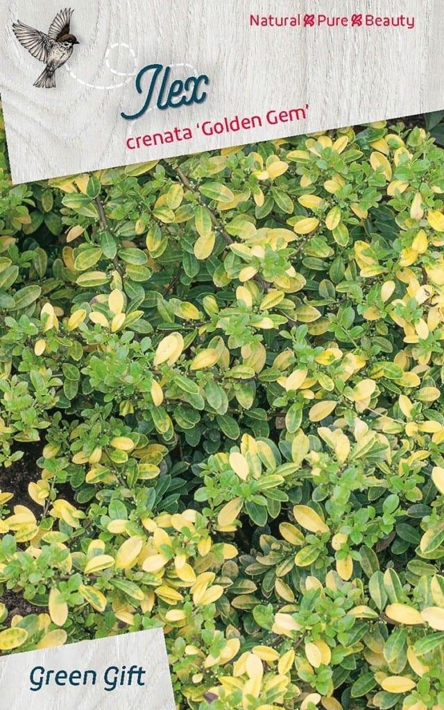 Ilex crenata 'Golden Gem'