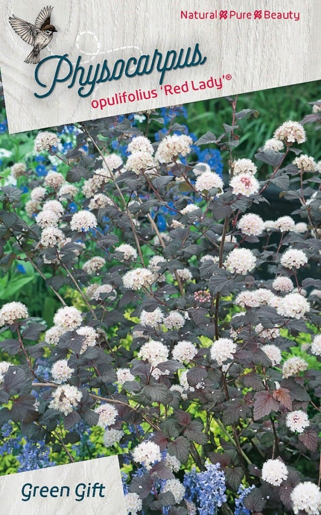 Physocarpus opulifolius 'Red Lady' ®
