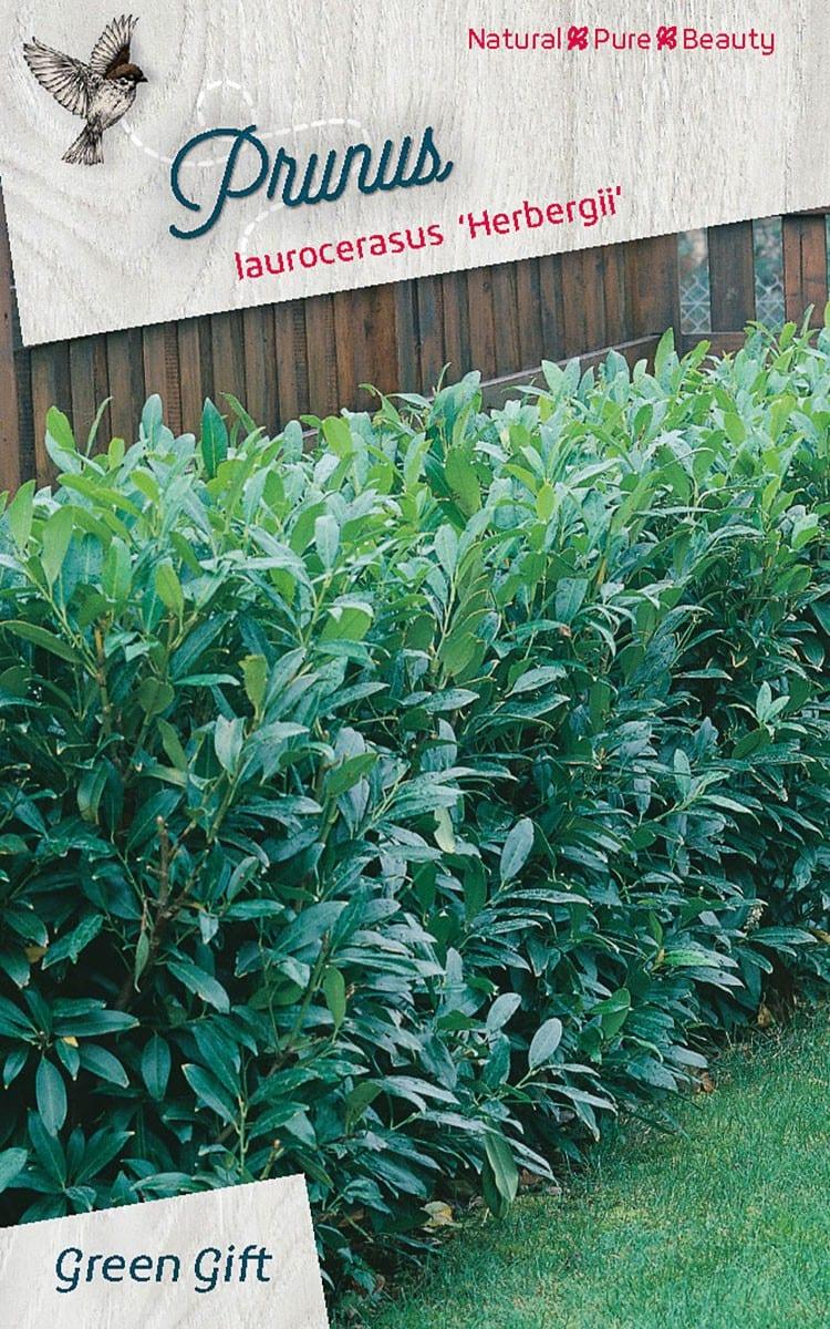 Prunus laur. 'Herbergii'