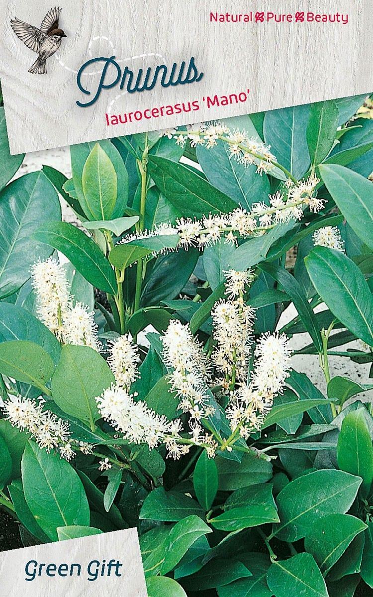Prunus laurocerasus 'Mano'