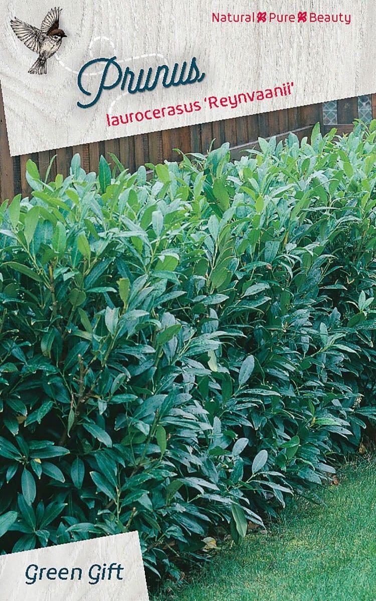 Prunus laurocerasus 'Reynvaanii'