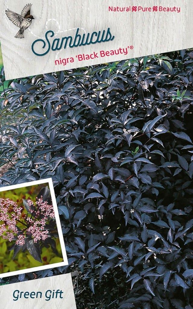 Sambucus nigra 'Black Beauty'® ('Gerda')