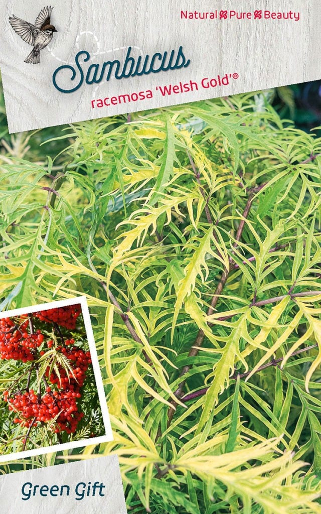 Sambucus racemosa 'Welsh Gold'® ('Walfinb'PBR)