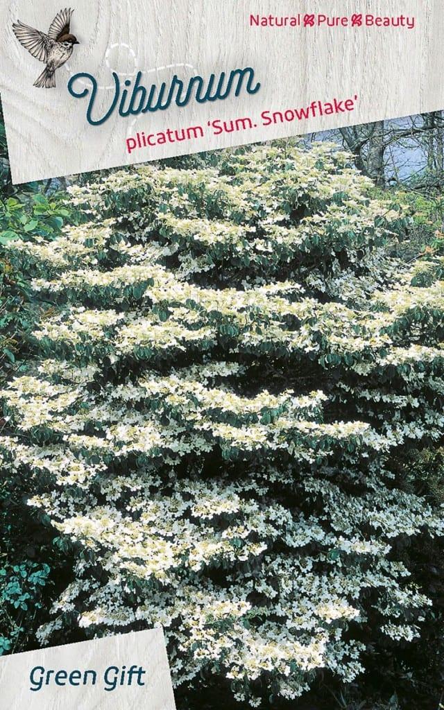 Viburnum plicatum 'Sum. Snowflake'