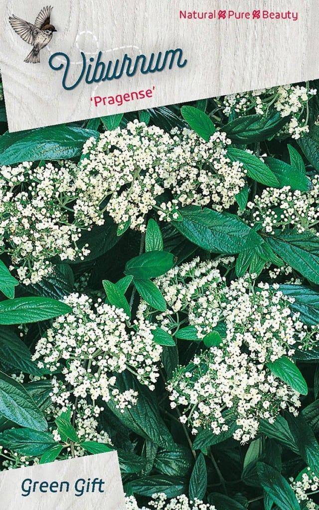 Viburnum 'Pragense'