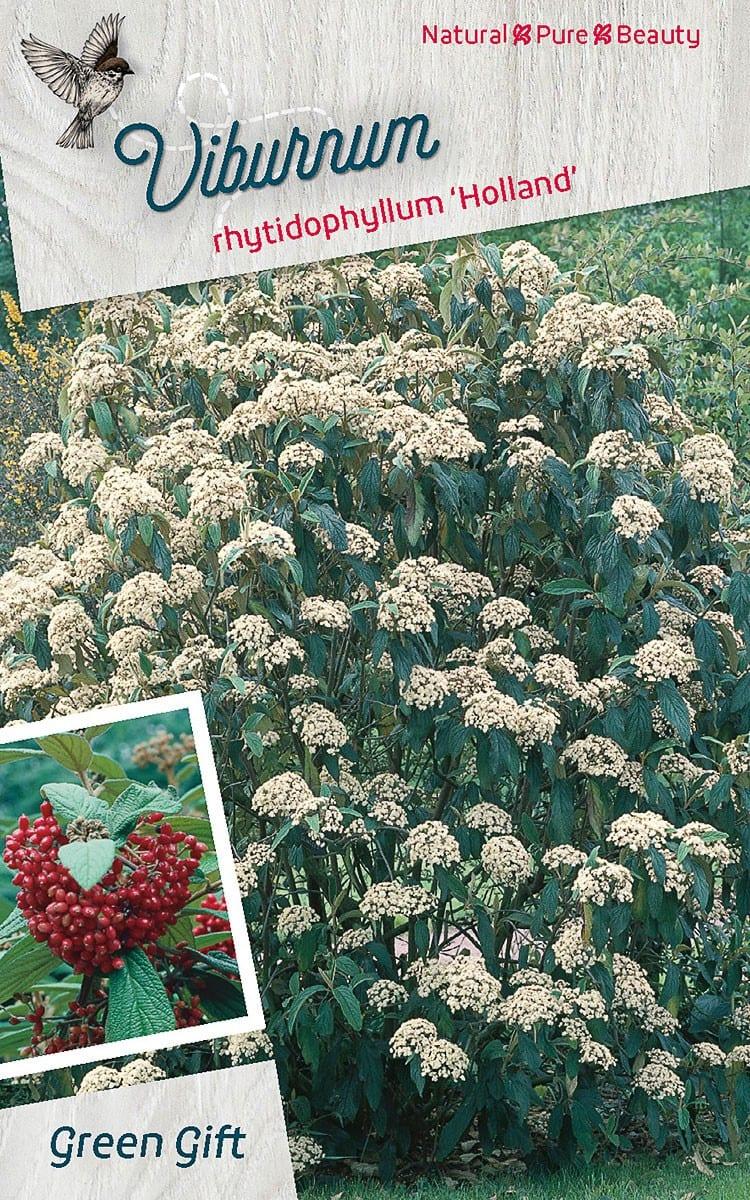 Viburnum rhytidoph. 'Holland'