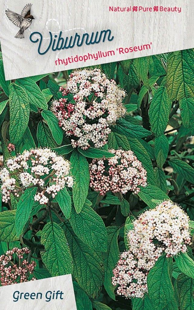Viburnum rhytidophyllum 'Roseum'