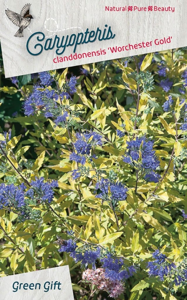 Caryopteris clanddonensis 'Worchester Gold'