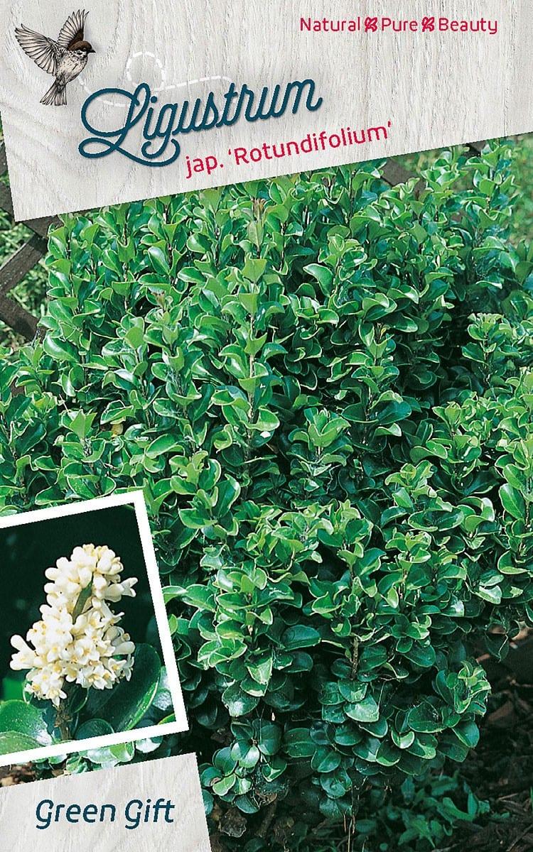 Ligustrum jap. 'Rotundifolium'