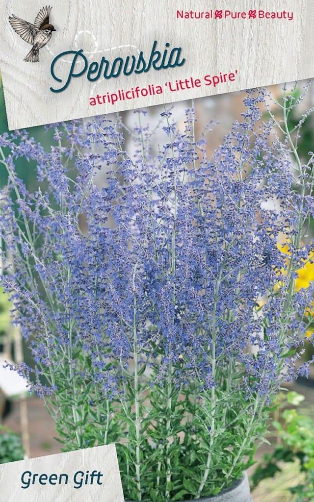 Perovskia atriplicifolia 'Little Spire'