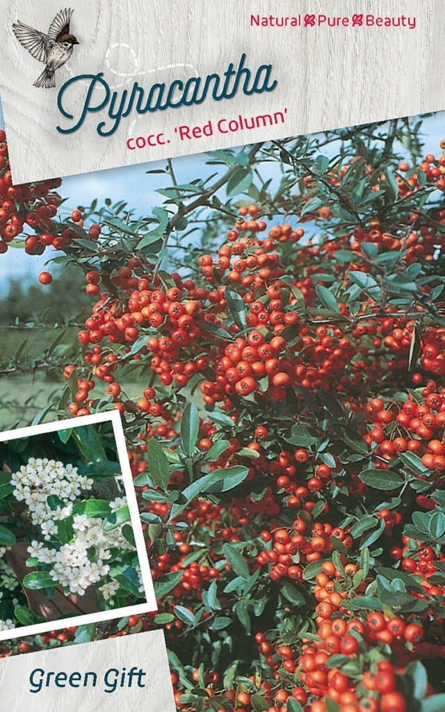 Pyracantha cocc. 'Red Column'
