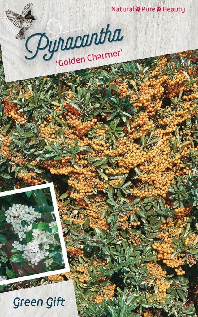 Pyracantha 'Golden Charmer'