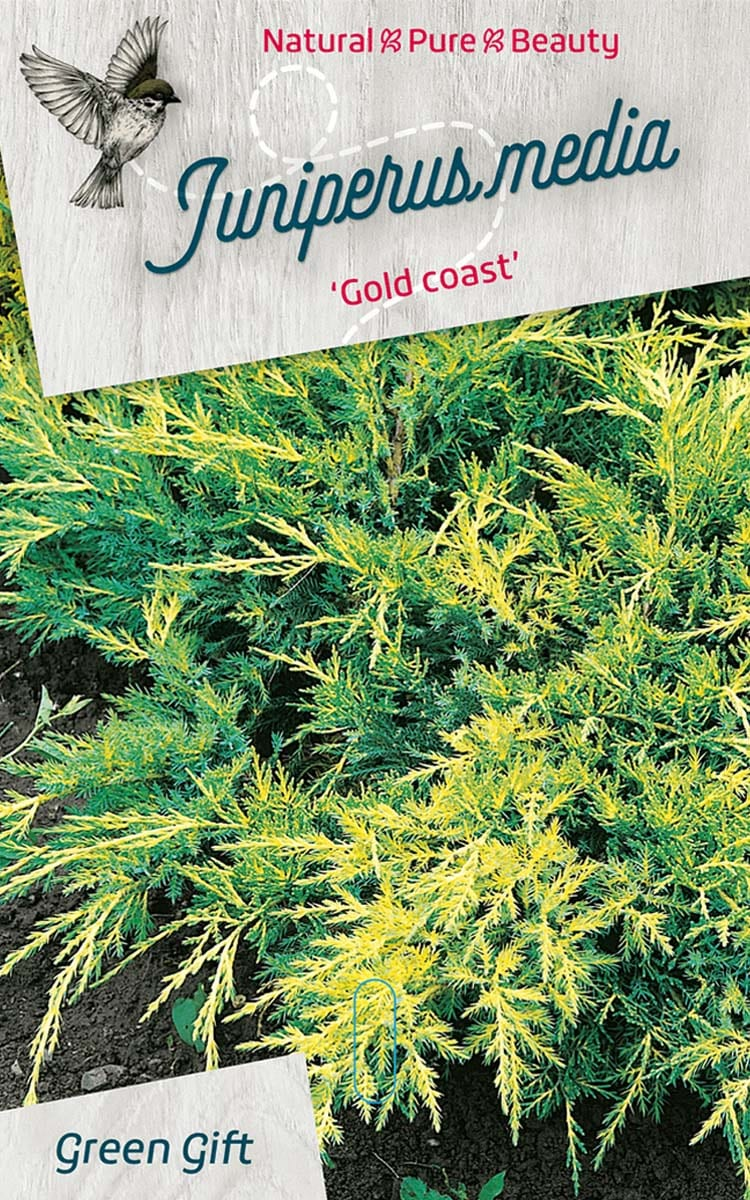 Juniperus media 'Gold coast'