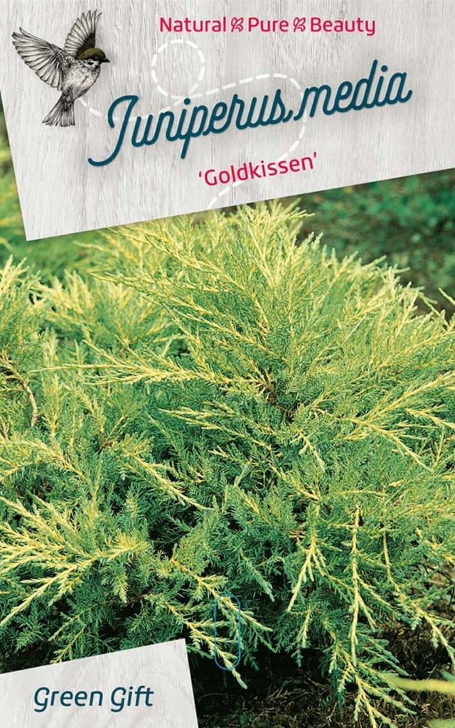 Juniperus media 'Goldkissen'