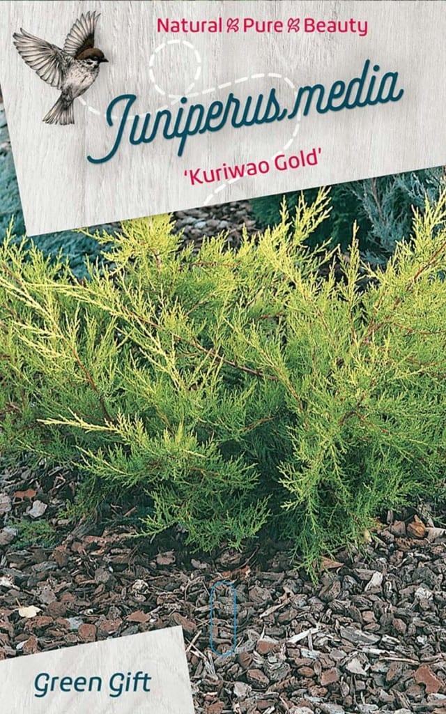 Juniperus media 'Kuriwao Gold'