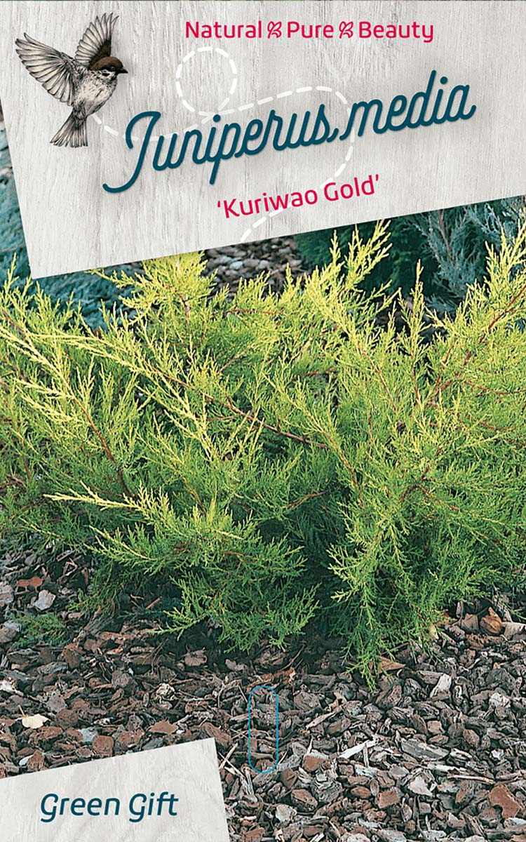 Juniperus media 'Kuriwao Gold'