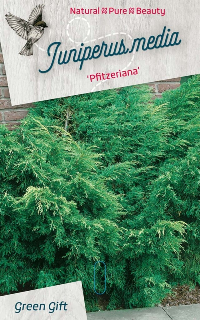 Juniperus media 'Pfitzeriana'