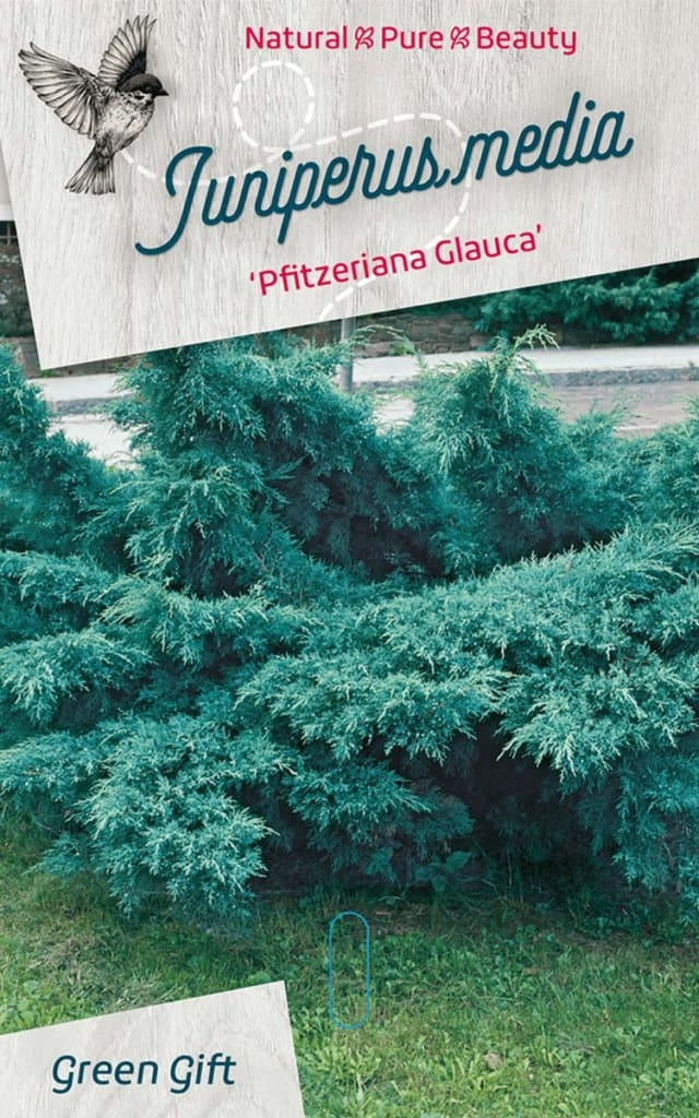 Juniperus media 'Pfitzeriana Glauca'
