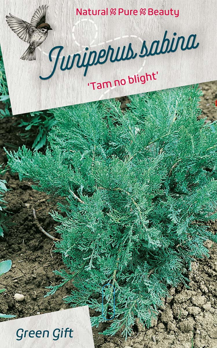 Juniperus sabina 'Tam no blight'