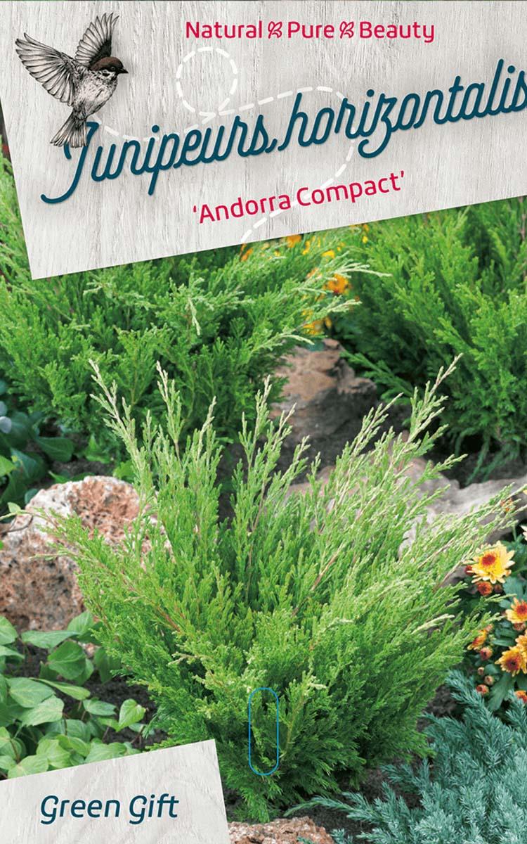 Junipeurs horizontalis 'Andorra Compact'