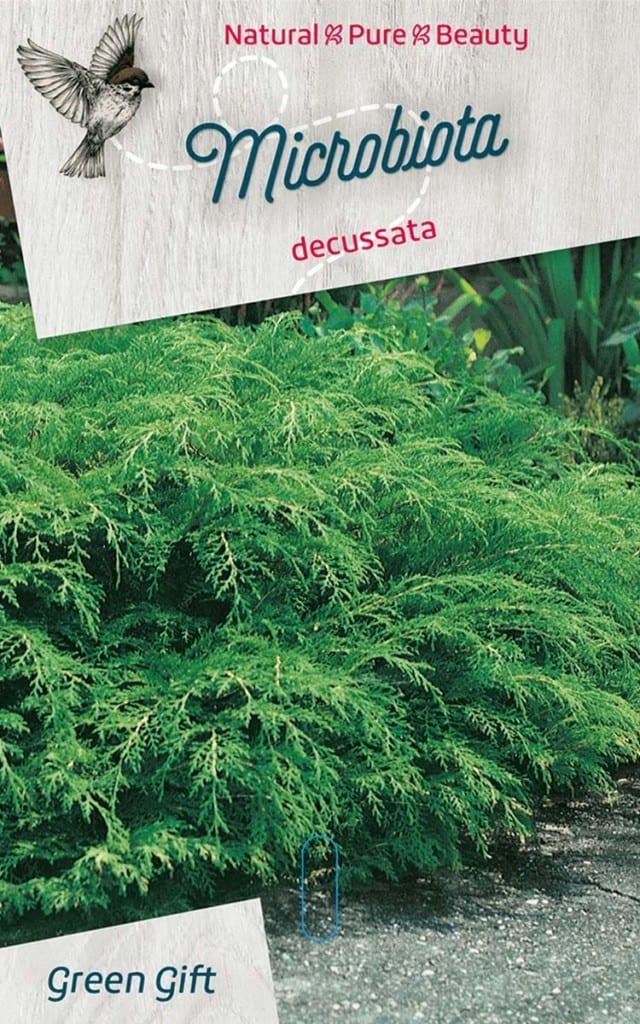 Microbiota decussata