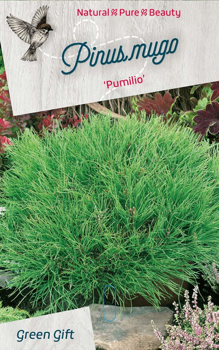 Pinus mugo 'Pumilio'