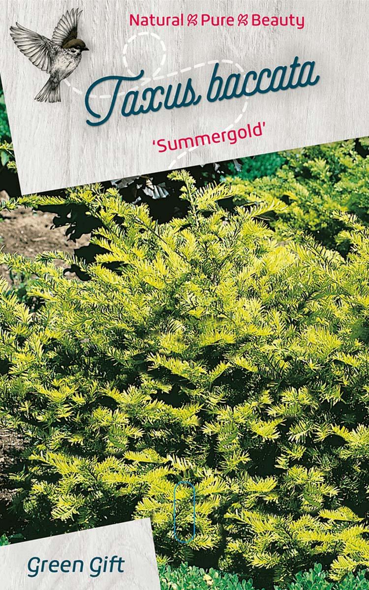 Taxus baccata 'Summergold'