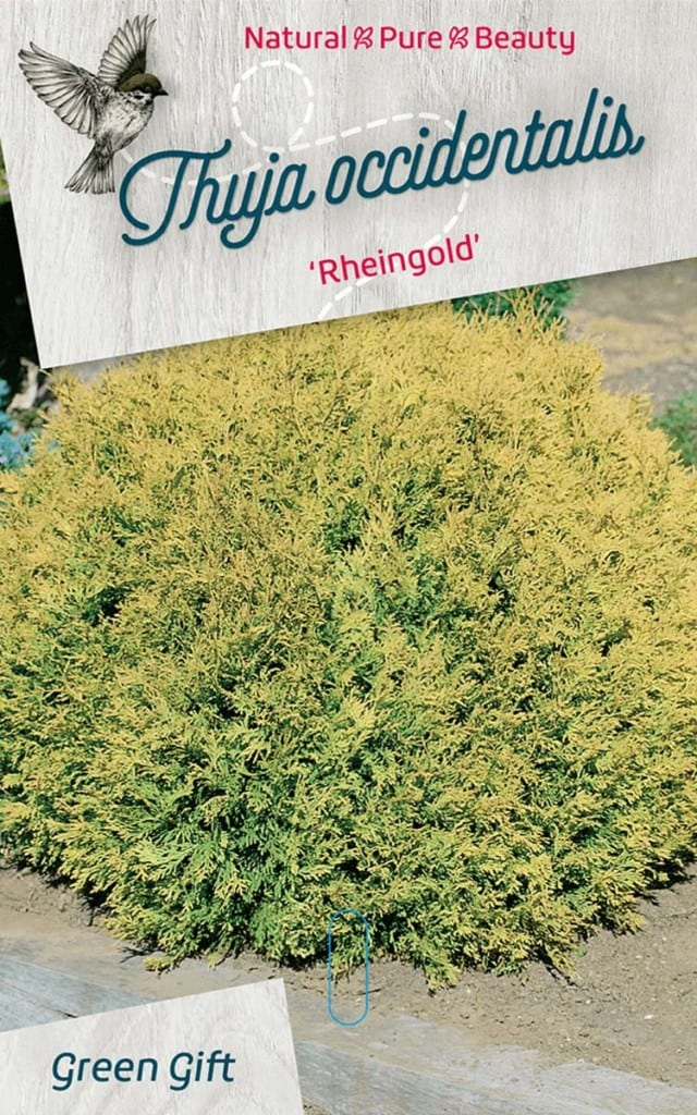 Thuja occidentalis 'Rheingold'