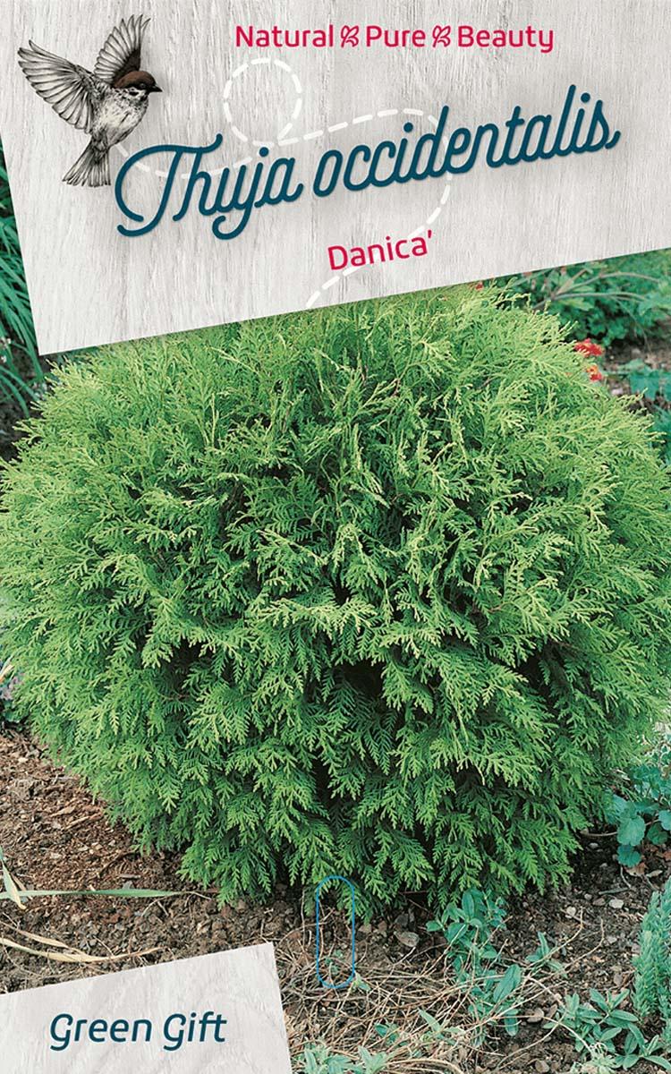 Thuja occidentalis Danica'