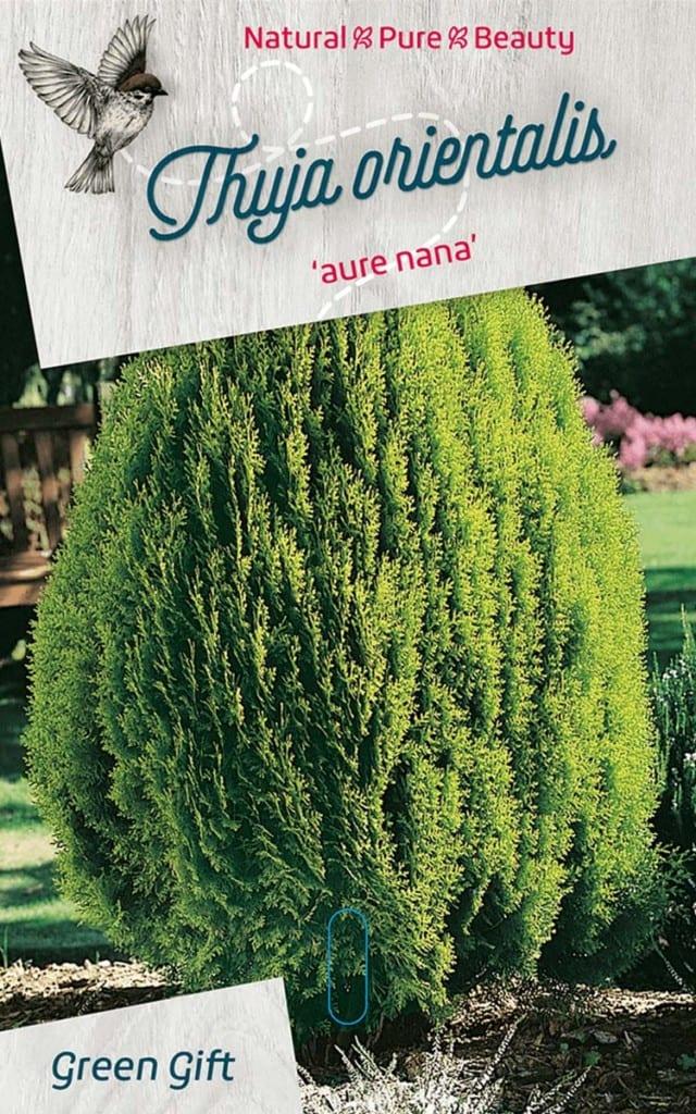 Thuja orientalis 'aure nana'