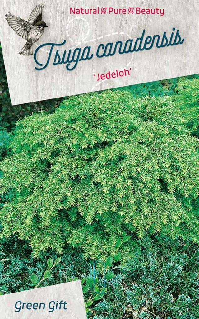 Tsuga canadensis 'Jedeloh'
