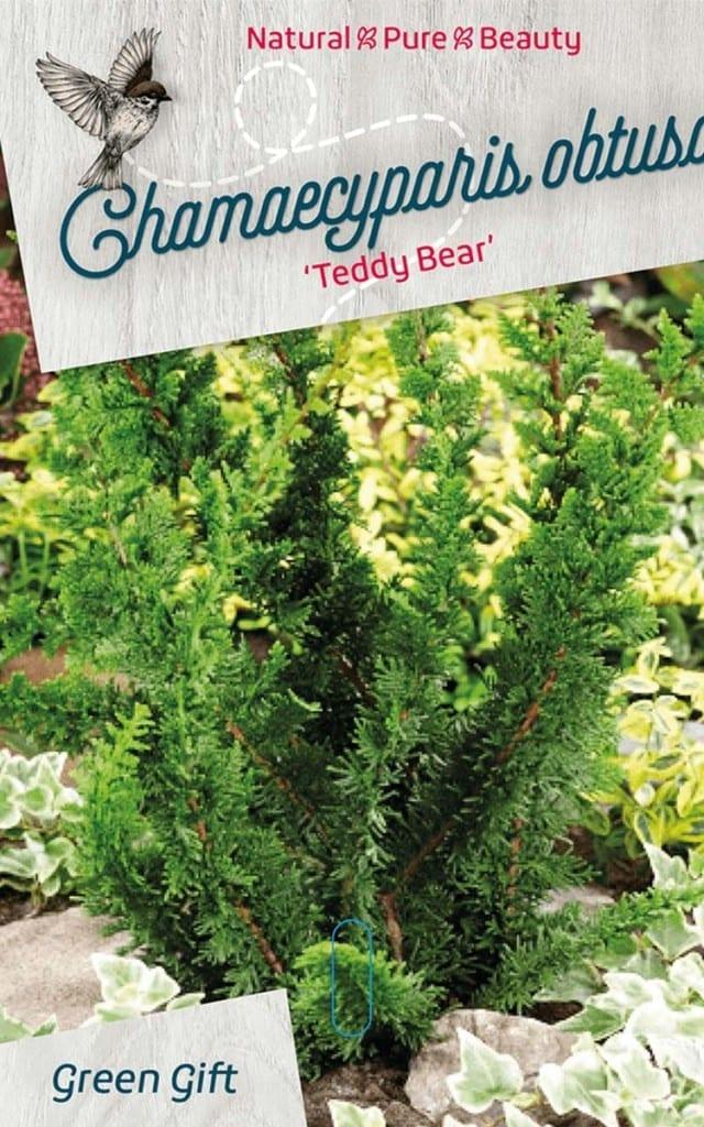 Chamaecyparis obtusa 'Teddy Bear'