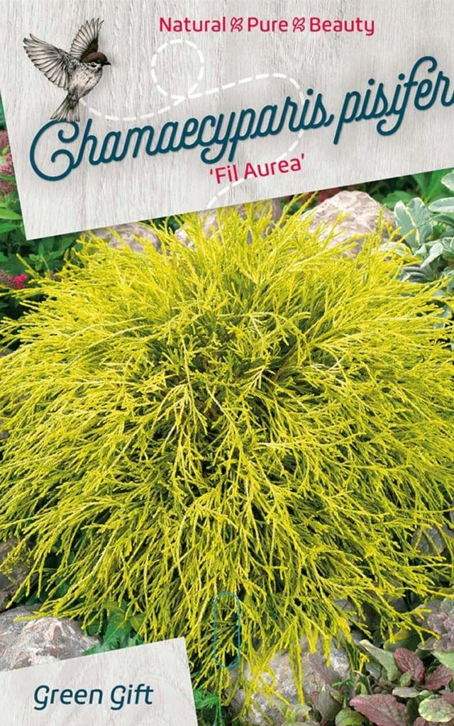Chamaecyparis pisifera 'Fil Aurea'